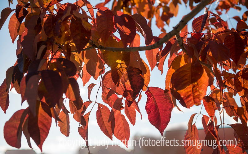 Ash Leaves in Autumn