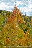 Aspen in autumn in Colorado; best viewed in the largest sizes