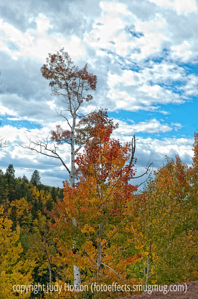 Aspen in autumn in Colorado; best viewed in the largest size