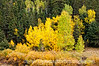 Aspen in Colorado in the autumn, shot from a moving car
