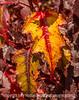 Hawthorne Leaves in Autumn