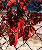 Virginia creeper in autumn; best viewed in the largest sizes
