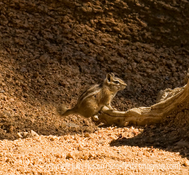Chipmunk; best viewed in the largest size