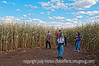 Inside the corn maze at Chatfield Park in Denver; best viewed in the largest sizes