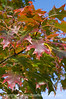 Oak leaves in autumn; best viewed in the larger sizes