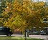 Locust in Autumn