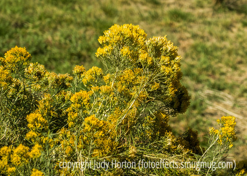 Rabbitbrush in Bloom