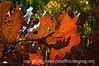 Light and shadow on gambel oak leaves in autumn; best viewed in the largest sizes