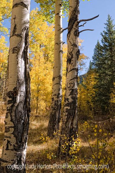 Aspens in autumn, both near and far.