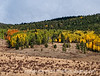 Aspen in autumn not far from Divide, Colorado; best viewed in the largest sizes