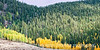 Aspen light up the roadside in Colorado in the autumn; best viewed in the largest sizes