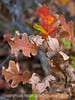 Gambel oak leaves in autumn