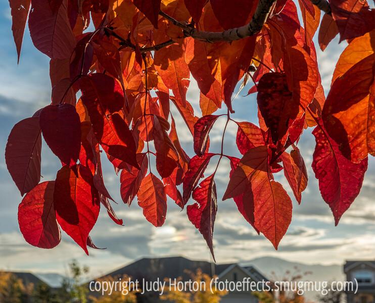 Ash Autumn Leaves