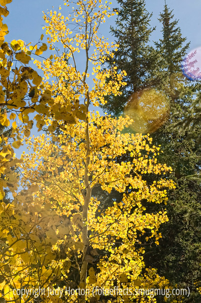 Sunlight through aspen leaves in Colorado in the autumn; best viewed in the largest sizes