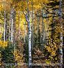 Aspen in Autumn