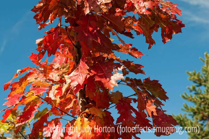 Autumn oak leaves; best viewed in the largest sizes