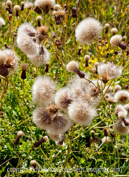 Please view in the largest size to see the incredible detail in these soft looking seedheads.