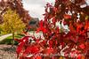 Hawthorne Leaves in Fall