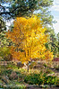 An ash tree glows golden in the autumn light; best viewed in the largest size