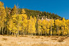 Aspen trees in the autumn in Colorado along the trail to the Crags.  Best viewed in the larger sizes