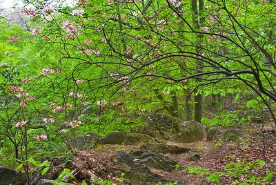 Pinxterbloom azalea (Rhododendron periclymenoides syn. R. nudiflorum) blooms on a rocky ledge in Rock Creek Park.