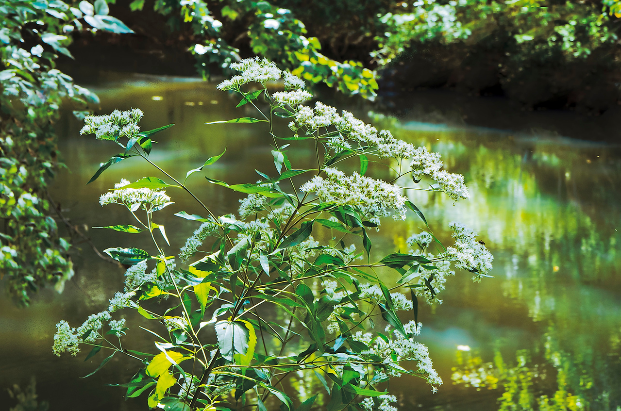 Late boneset (Eupatorium serotinum) shimmers beside the creek in the angled rays of autumn's low light.