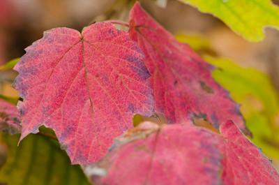 Vibrunum acerifolium, maple-leaf viburnum, fall color, native plant, shrub