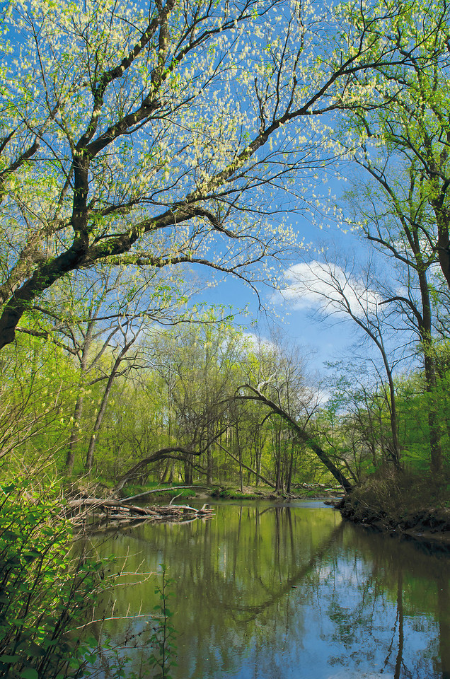 Box elder (Acer negundo) blooming branches arch over Rock Creek in ealry spring.