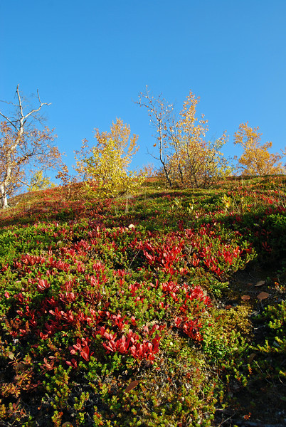 Autumn color in Abisko