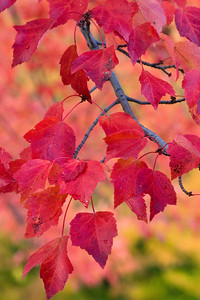 Red_Leaves_3