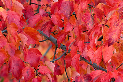 Red_Leaves_2