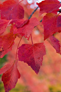 Red_Leaves