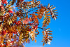 golden fall ashberry