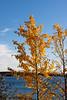 golden fall aspens