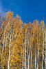 golden fall birches