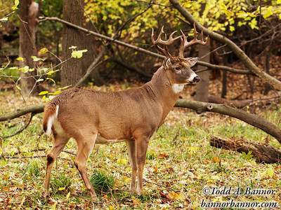 White-tailed buck in autumn rut. Thatcher Woods, Cook County, Illinois.