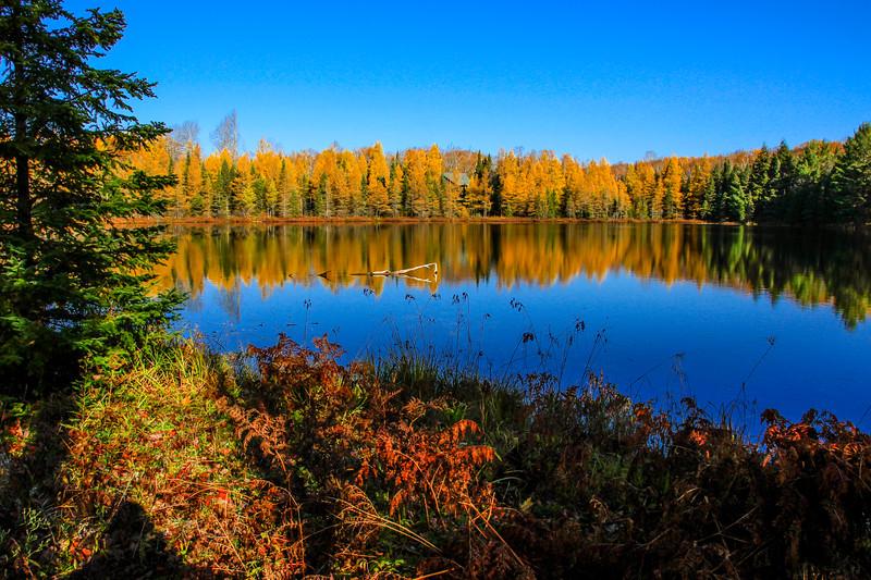 Tamarack Gold at Mud Lake