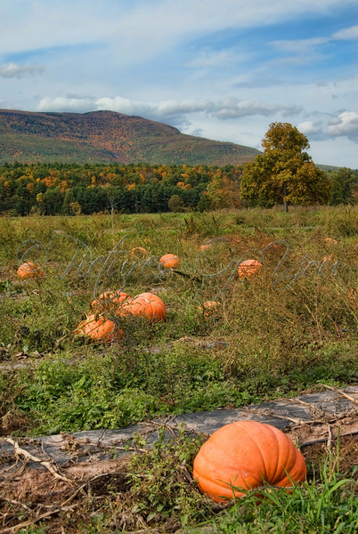 Pumpkin Patch along Rte 23 in the Catskills