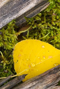 An aspen leaf on a mossy log