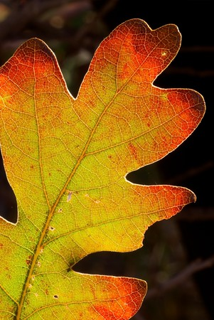 "A turning oak leaf near Ridgway, Colorado.  It's cool when you catch leaves ""halfway"" like this."