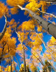 Wind-whipped aspens and the moon in a grove near the Bierstadt Lake Trailhead, Rocky Mountain National Park, Colorado.