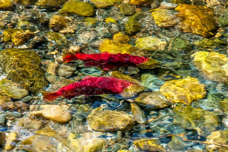 Salmon Run in BC -Autumn'14
