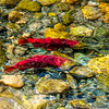 Salmon Run in BC -Autumn'14