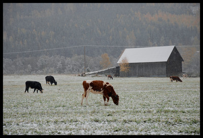 Calf's didn't seem to mind the early snowfall.