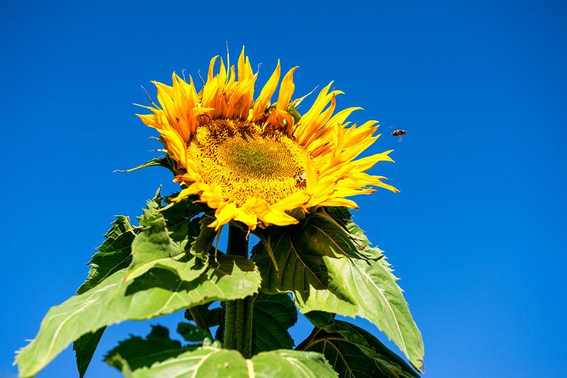 Autumn Sun amd Sunflowers
