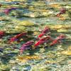 Salmon Run in 2014