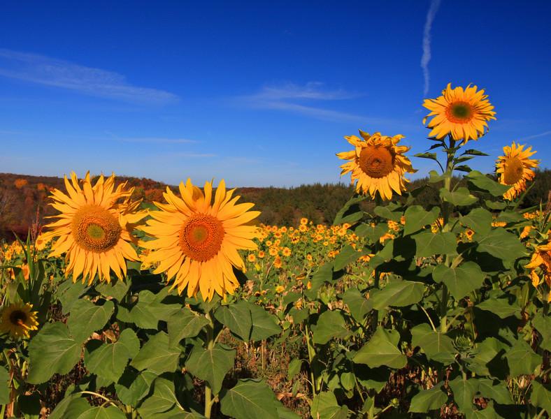 """  Sunflower Maze  """