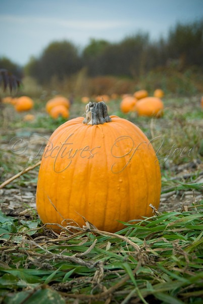 A pumpkin at Indian Ladder Farms, Vorheesville, NY.<br /> © Photograph by Angela M. Jorczak/Pictures of You, all rights reserved.
