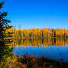 Tamarack Gold at Mud Lake 2