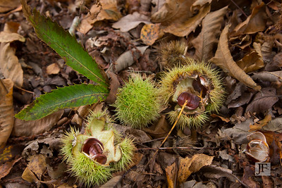 Sweet Chesnuts